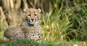 Reclinación del guepardo Foto de archivo libre de regalías