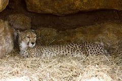 Reclinación del guepardo Imagen de archivo libre de regalías
