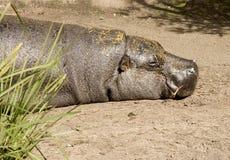 Reclinación del hipopótamo Foto de archivo