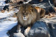 Reclinación del león Imagen de archivo libre de regalías