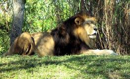 Reclinación del león Imagenes de archivo