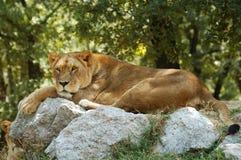 Reclinación del león Foto de archivo libre de regalías