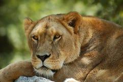 Reclinación del león Imágenes de archivo libres de regalías