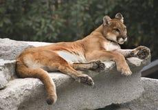 Reclinación del león de montaña del puma Fotografía de archivo libre de regalías