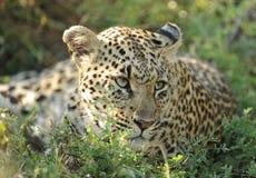 Reclinación del leopardo Fotos de archivo