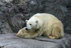 Reclinación del oso polar Foto de archivo