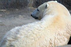 Reclinación del oso polar Fotos de archivo libres de regalías