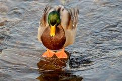 Reclinación del pato Foto de archivo