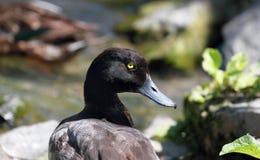 Reclinación del pato Fotografía de archivo libre de regalías