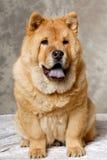 Reclinación del perro de Chow Fotografía de archivo libre de regalías