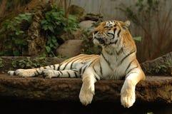 Reclinación del tigre Fotografía de archivo libre de regalías