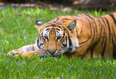 Reclinación del tigre Imagen de archivo libre de regalías