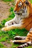 Reclinación del tigre Fotografía de archivo