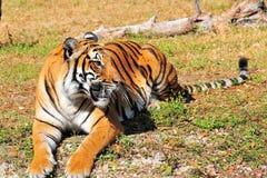 Reclinación del tigre de Bengala Fotos de archivo