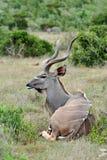 Reclinación del toro de Kudu Foto de archivo
