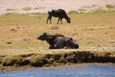 Reclinación del Wildebeest Fotos de archivo
