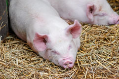 Reclinación el dormir de los cerdos de los cerdos sobre la paja en una parada de la granja fotografía de archivo libre de regalías