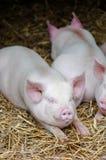 Reclinación el dormir de tres cerdos de los cerdos sobre la paja en una parada de la granja foto de archivo