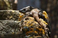 Reclinación endémica grande de la especie del reptil del lagarto gigante de Gran Canaria fotos de archivo