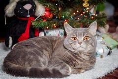 Reclinación escocés-recta de la raza del gato sobre la alfombra blanca en el árbol de navidad Imagen de archivo