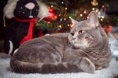 Reclinación escocés-recta de la raza del gato sobre la alfombra blanca en el árbol de navidad Fotografía de archivo libre de regalías
