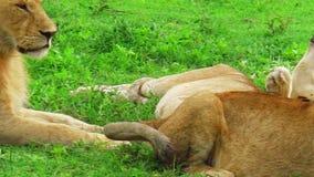Reclinación femenina de los leones metrajes