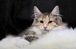 Reclinación femenina del gato noruego del bosque Fotos de archivo libres de regalías