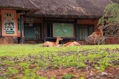Reclinación femenina del impala Imagenes de archivo