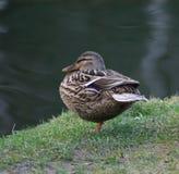 Reclinación femenina del pato del pato silvestre sobre el banco Foto de archivo libre de regalías
