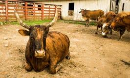 Reclinación grande de Bull Fotografía de archivo libre de regalías