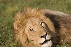 Reclinación grande del león Imagen de archivo libre de regalías