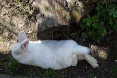 Reclinación linda blanca del conejo Fotos de archivo