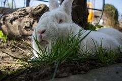 Reclinación linda blanca del conejo Imagen de archivo libre de regalías