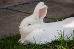 Reclinación linda blanca del conejo Imágenes de archivo libres de regalías