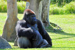 Reclinación masculina del gorila Fotografía de archivo libre de regalías