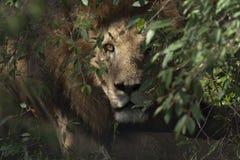 Reclinación masculina del león Fotografía de archivo