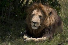 Reclinación masculina del león Imagenes de archivo
