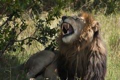 Reclinación masculina del león Foto de archivo