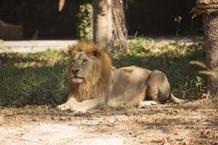 Reclinación masculina del león Foto de archivo libre de regalías