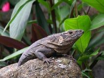 Reclinación negra de la iguana fotografía de archivo libre de regalías