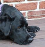 Reclinación negra de Labrador Fotografía de archivo