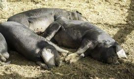 Reclinación negra de los cerdos Imagenes de archivo