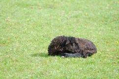 Reclinación negra del cordero Foto de archivo libre de regalías