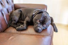 Reclinación negra del perro de Staffordshire bull terrier encrespada para arriba en un leat fotos de archivo