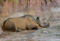 Reclinación negra del rinoceronte Fotos de archivo libres de regalías