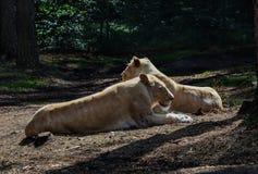Reclinación noble de la leona Imagen de archivo libre de regalías