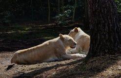 Reclinación noble de la leona Imagenes de archivo