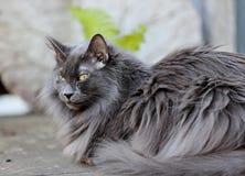 Reclinación noruega azul del gato del bosque Imagen de archivo