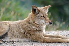 Reclinación occidental del coyote Foto de archivo libre de regalías