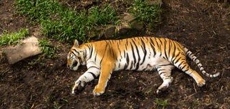 Reclinación perezosa del tigre Imagen de archivo libre de regalías